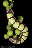 Grape Mimic