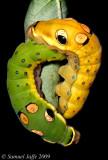 Spicebush Swallowtail Yin Yang