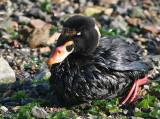 Oiled Birds, Cosco Busan Oil Spill, Alameda, November 2007