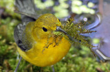 Prothonotary Warbler-female with nesting material