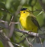 Wilson's Warbler, male