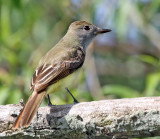 Great Creasted Flycatcher