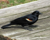 Red-winged Blackbird , begging for food on the table
