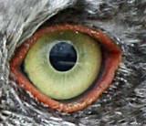 Screech Owl ,baby