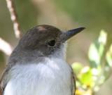 La Sagra Flycatcher head shot cropped