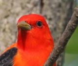 Scarlet Tanager head shot,100% crop no processing,Ljpeg
