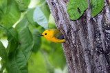 Prothonotary Warbler and neasting hole
