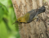Female Prothonotary Warbler with nesting material