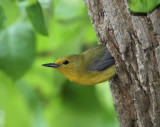Female Prothonotary Warbler coming out of the nesting hole