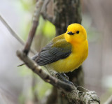 Male Prothonotary Warbler, MaGee Marsh,Ohio