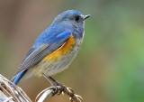 red-flanked_bluetail_
