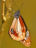 chestnut_tiger_butterfly