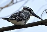 pied_kingfisher