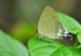 green_flash_butterflyfemale