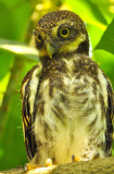 asian_barred_owlet