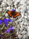 Butterfly above gravel