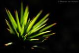Juniper haircap (Polytrichum juniperinum)
