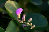 Sea Grape Blossom
