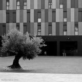 (365 - 262) Olivo urbano