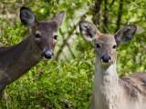 Deer_3.JPG