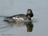 Common Goldeneye female 12a.jpg