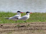 Caspian Terns 1a.jpg