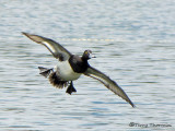 Lesser Scaup in flight 1a.jpg