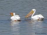 American White Pelicans 8a.jpg