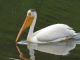 American White Pelican 6a.jpg