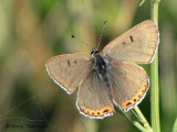 Lycaena dione - Great Gray Copper 2a.jpg