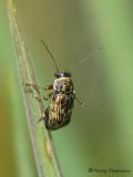 Pachybrachis sp. - Cylindrical Leaf Beetle A3a.JPG