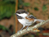 Chestnut-backed Chickadee 7b.jpg