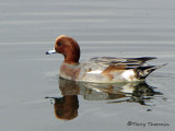 Eurasian Wigeon molting into breeding plumage 7a.jpg