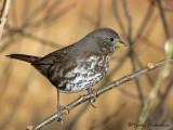 Fox Sparrow - West Coast supspecies 10b.jpg