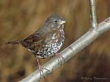 Fox Sparrow - West Coast supspecies 12a.jpg