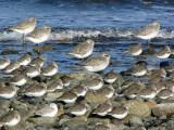 Shorebirds 1b.jpg
