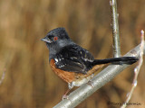 Spotted Towhee 8a.jpg