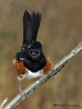 Spotted Towhee 9a.jpg