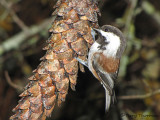 Chestnut-backed Chickadee 9a.jpg