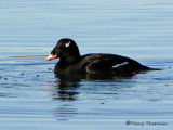 White-winged Scoter 8b.jpg
