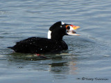 Surf Scoter with clam 1a.jpg