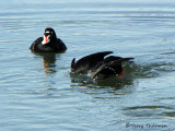 Surf Scoter diving 1a.jpg