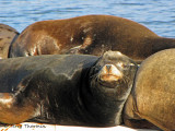 California Sea Lion 2a.jpg