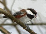Chestnut-backed Chickadee 8a.jpg