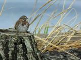 Song Sparrow 23a.jpg