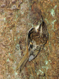 Brown Creeper 4b.jpg