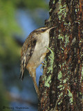 Brown Creeper 2c.jpg