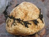 Sargassum muticum - Wireweed 2a.jpg
