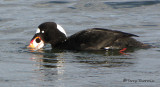 Surf Scoter washing clam 2c.jpg