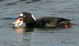 Surf Scoter washing clam 1c.jpg